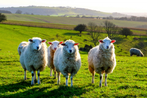 Twelve things you might not know about sheep