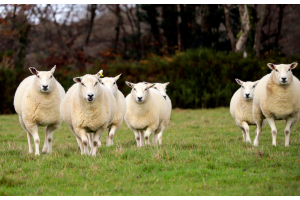 Traceable British Wool From Farm to Duvet