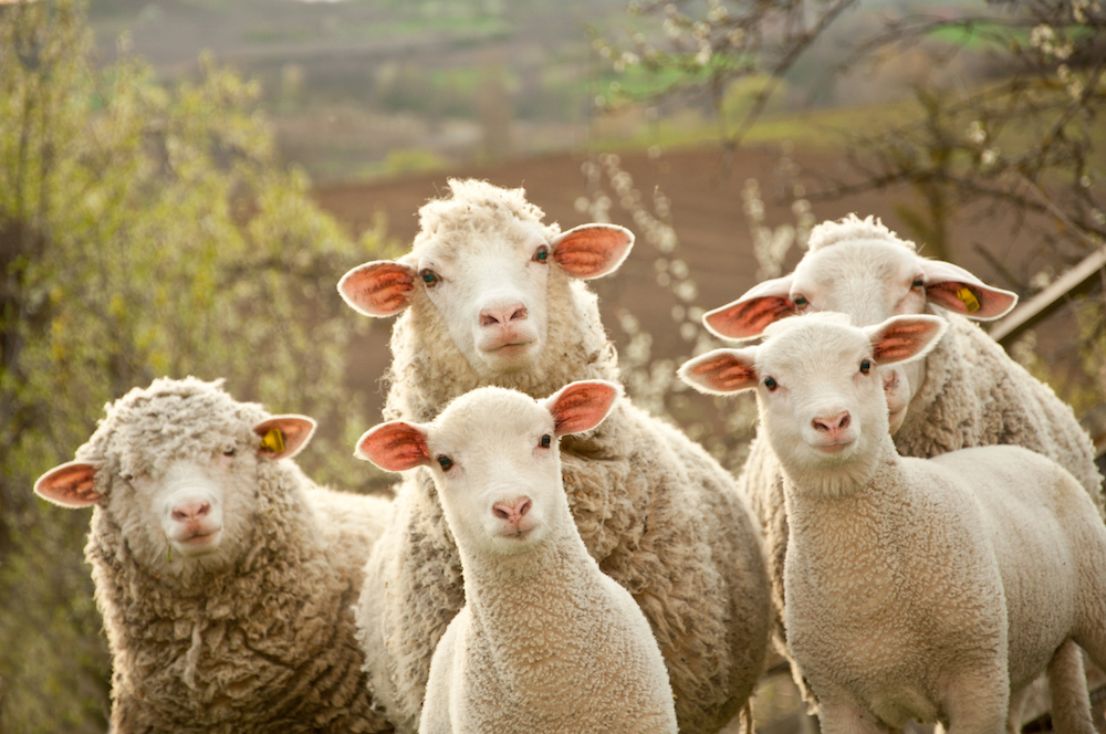 Why British wool has been prized for over two thousand years